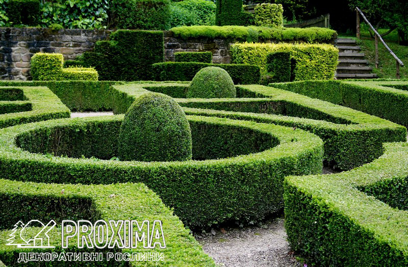 Самшит вечнозелёный геометрический узор в французском стиле.