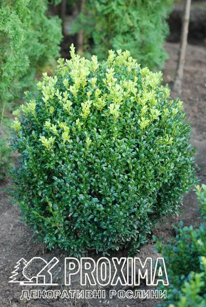 Самшит вечнозелёный Шар. Уход, посадка, стрижка на нашем сайте про самшит