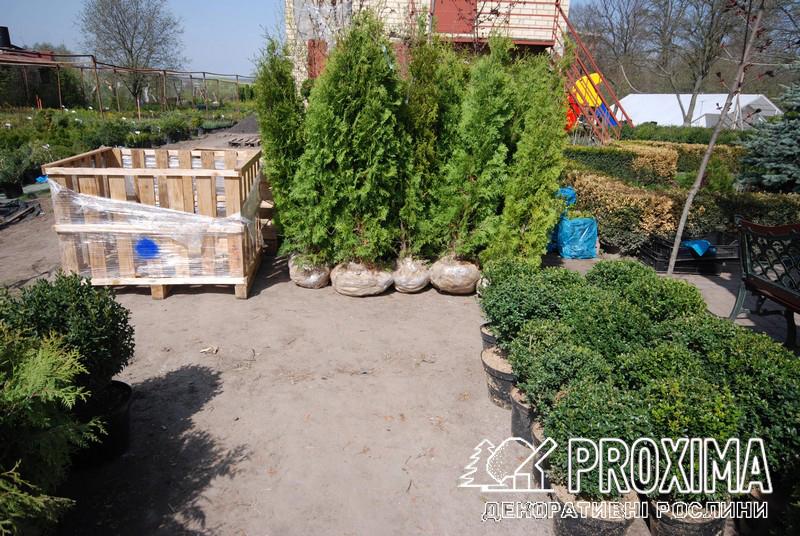 Вечнозелёные растения для украинского климата