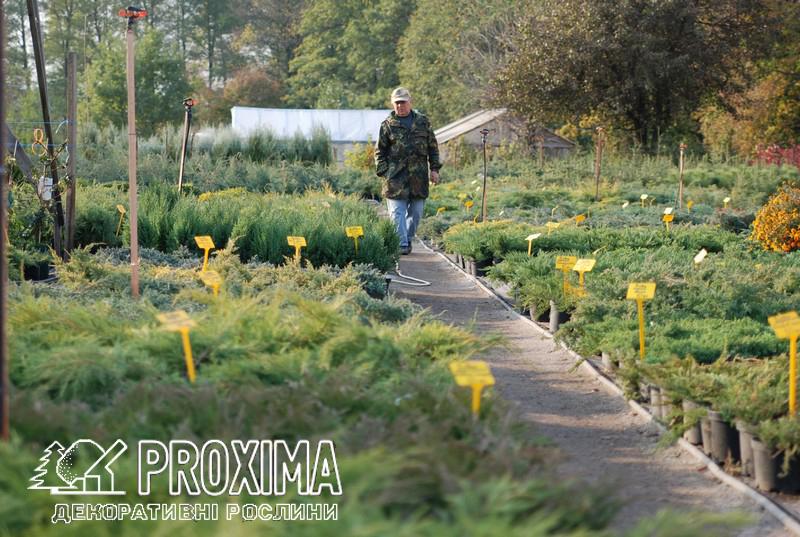 Власне виробництво хвойних рослин в контенерах