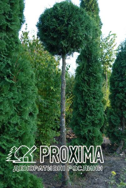 Только в питомнике Proxima вы можете приобрести привитые и стриженые хвойные формы от украинского производителя