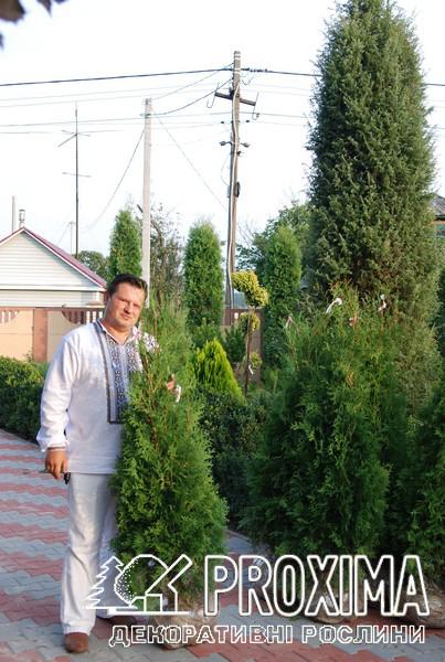 Туя западная колоновидная выращена в Украине