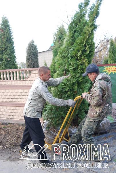 Туя колоновидная доставка в Киев