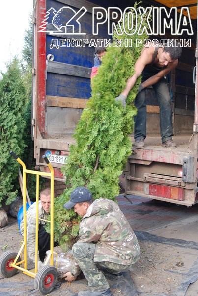 Туя колоновидная с доставкой в Киев