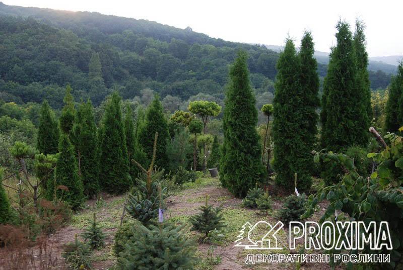 Хвойні рослини від виробника
