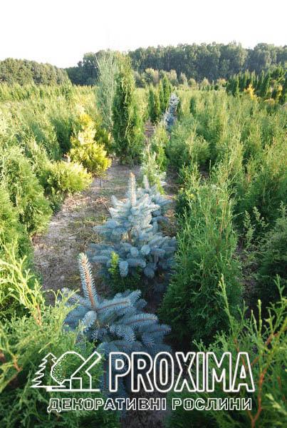 Хвойные растения в грунте