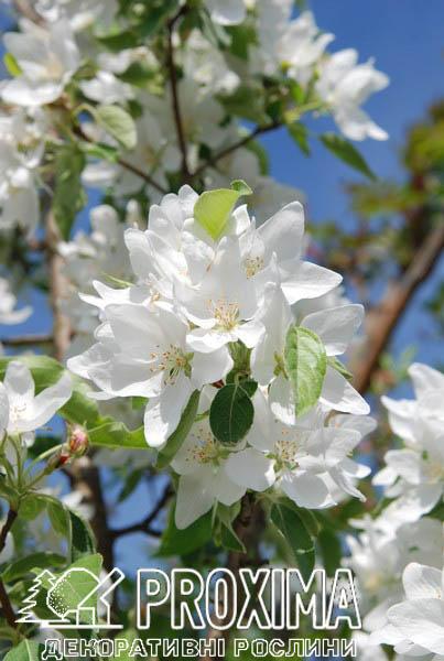 Цветение декоративной яблони