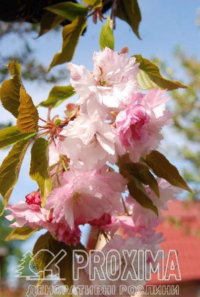 Яблоня декоративная цветение