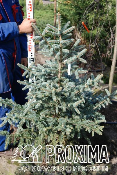 Picea pungens Glauca ель голубая