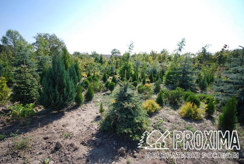 Коллекция хвойных растений Украина