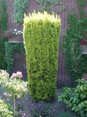 Тис ягодный Фастигиата Ауреа <br>Taxus baccata Fastigiata Aurea <br>Тис ягідний Фагістіата Ауреа