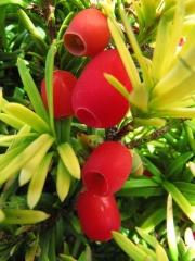 Taxus Fastigiata Aurea