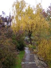 Salix matsudana Koidz осенью