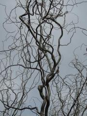 Верба пекінська без листя