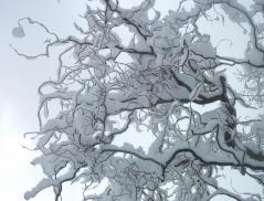 Китайська верба під снігом