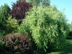 Salix matsudana в смешанной группе