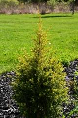 Juniperus Gold Cone