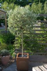 Salix helvetica on shtamb