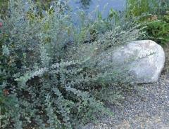 Salix Nitida