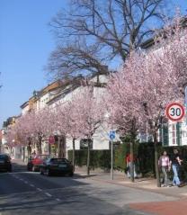 Слива вишнёвоплодная Nigra в цвете