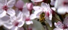 Цветение Алычи вишневидной Nigra