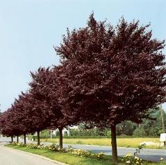 Prunus cerasifera Nigra (on shtamb)