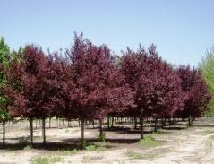 Prunus Blaze