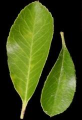 Пираканта листва