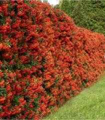Pyracantha coccinea Red Column изгородь