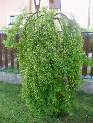 Карагана древовидная Пендула / на штамбе <br>Caragana arborescens Pendula / on shtambe <br>Карагана деревовидна Пен дула / на штамбі