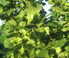 Corylus avellana Dolinansku