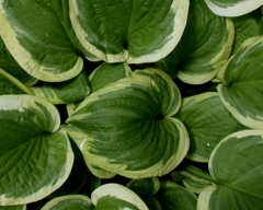 Hosta Mildred Seaver