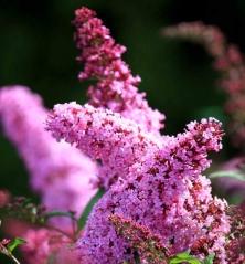 Buddleja davidii Pink Delight