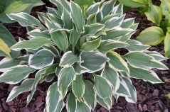 Hosta hybrida Chantilly Lace