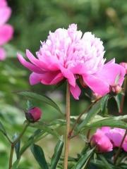 Цветок Paeonia
