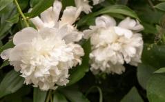 Цветок Пиона обыкновенного