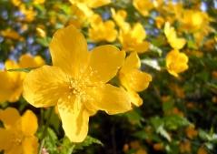 Керрія японська цвітіння