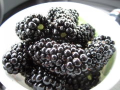 Rubus Natchez