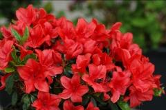 Рододендрон Ардеур / Азалия <br>Рододендрон Ардеур / Азалія <br>Rhododendron Ardeur / Azalea