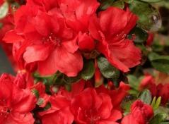 Rhododendron Ardeur / Azalea