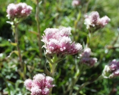 Антеннария цветение