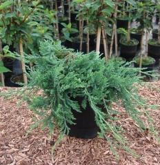 Можжевельник горизонтальный Глаука <br>Juniperus horizontalis Glauca <br>Ялівець горизонтальний Глаука