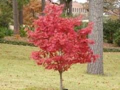 Acer palmatum 'Atropurpureum' саженцы