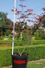 Клён 'Atropurpureum' питомник садовых растений Киев