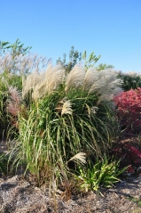 Miscanthus sinensis Grosse Fontane