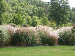 Miscanthus Grosse Fontane
