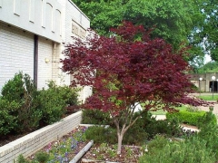 Клен веерный/пальмолистный Бладгуд/Блудгуд <br>Клен віяловий/пальмолистовий Бладгуд/Блудгуд <br>Acer palmatum Bloodgood