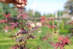 Клен 'Bloodgood' питомник растений в Киеве