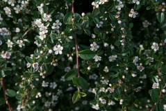 Cotoneaster suecicus Ursynow