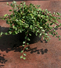 Cotoneaster Ursynow